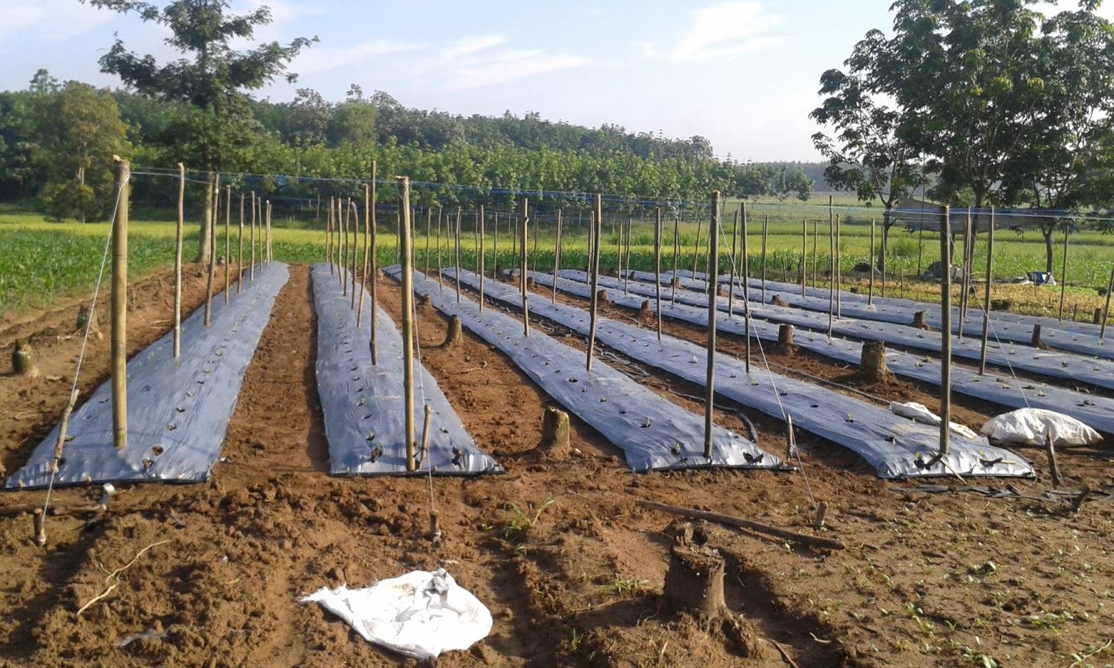 cara menanam kacang panjang yang benar