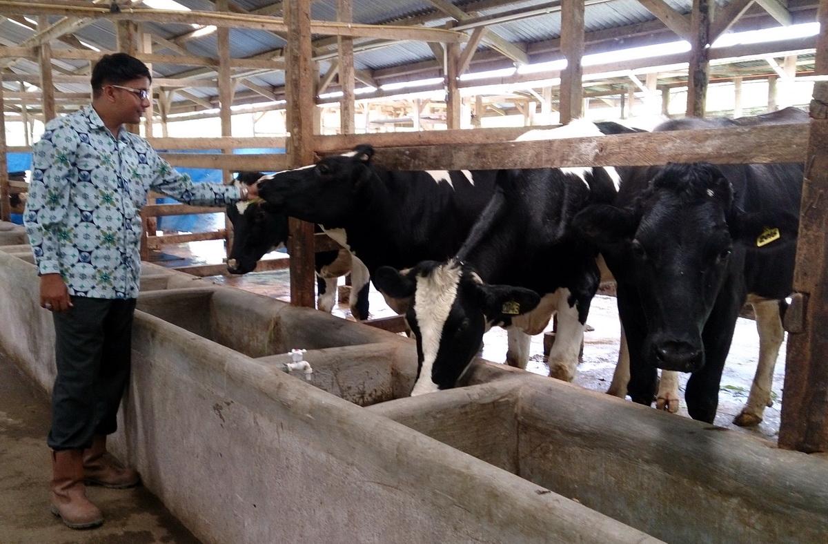 cara ternak sapi perah